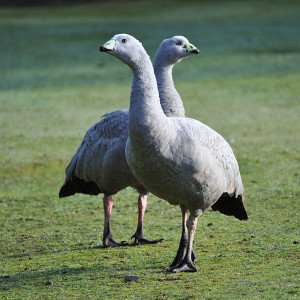 a pair of cape barren geese