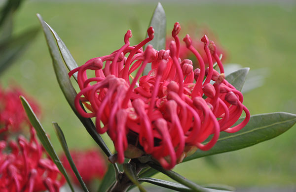 red Cordifolium Flower