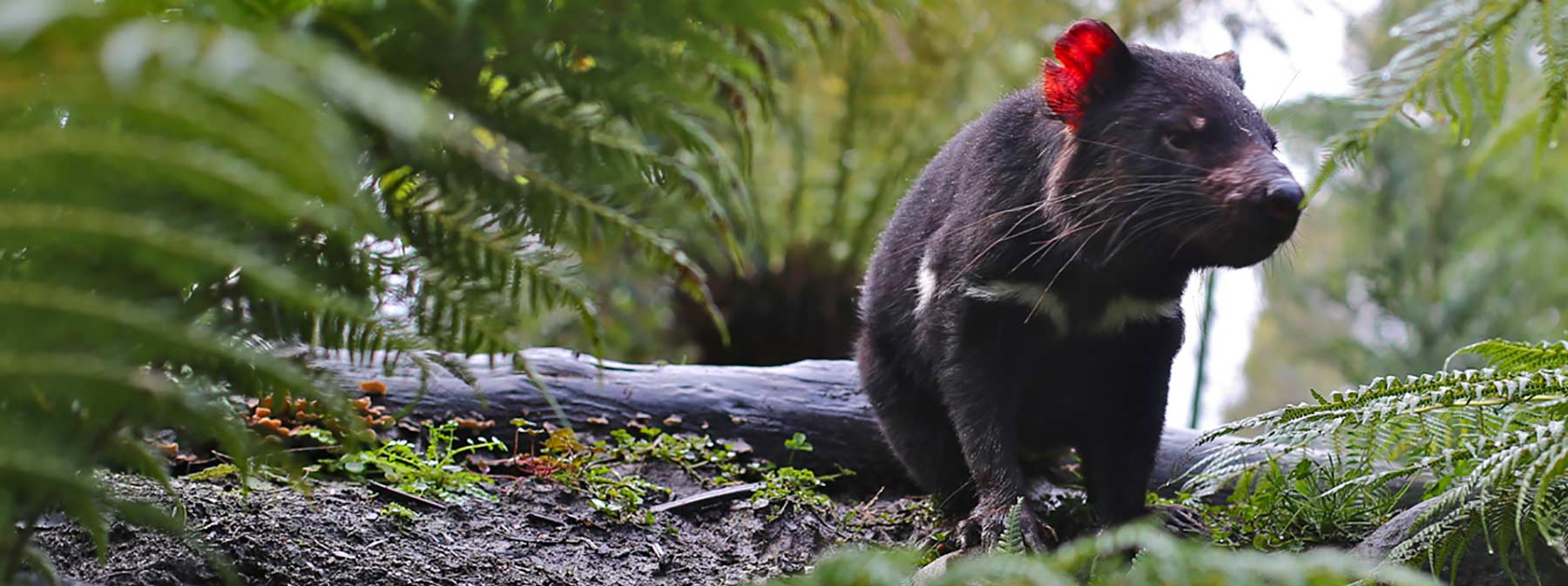 Tasmanian Devil in the ferns