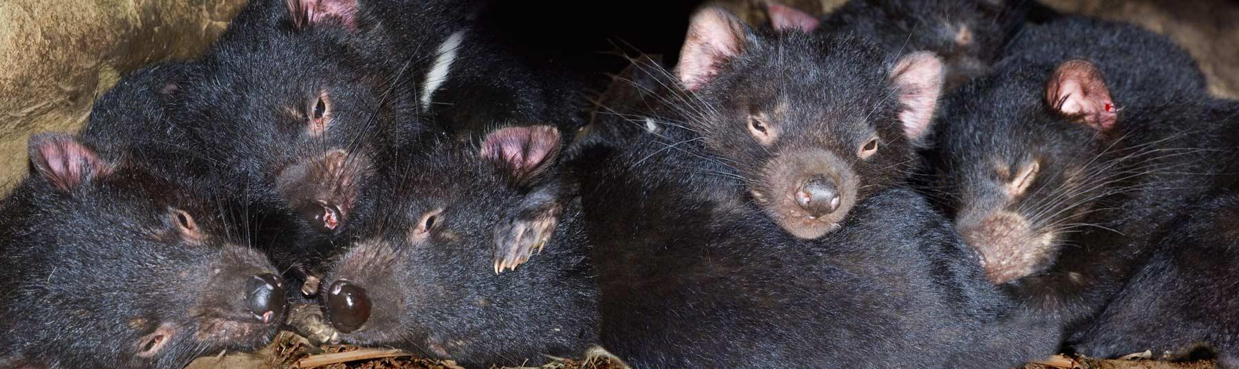 Sleeping Tasmanian Devils