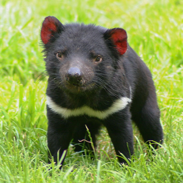 Auditions  Tasmanian-devil-600x600