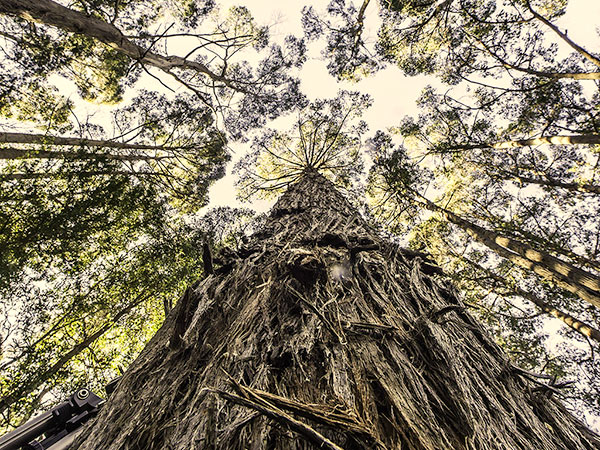 Looking up to the canopy of very tall trees